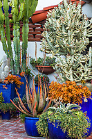 Succulents in containers with Aloes, Graptopetalum 'California Sunset', and Euphorbia lactea 'White Ghost' (Mottled Spurge), Jim Bishop and Scott Borden garden