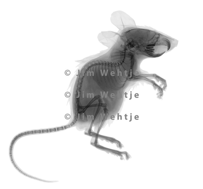 X-ray image of a house mouse (black on white) by Jim Wehtje, specialist in x-ray art and design images.