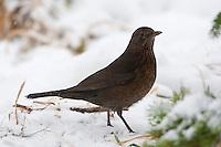 Amsel, Weibchen, Schwarzdrossel, Drossel, Turdus merula, blackbird, Merle noir