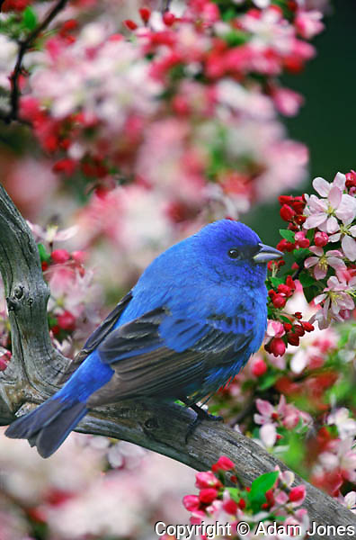Male Indio Bunting among crabapple blossoms, Passerina cyanea