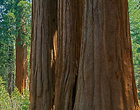 Kings Canyon National Park, CA:  Row of Giant Sequoia (Sequoiadendron giganteum) on Big Tree Creek in the Genereral Grant Grove