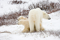01874-109.09 Polar Bears (Ursus maritimus) female & 2 cubs near Hudson Bay, Churchill  MB, Canada