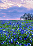 Ellis County, Texas: Field of Texas bluebonnets (Lupinus texensis) at dawn near Ennis.