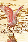 A Juvenile Roseate spoonbill (Platalea ajaja) - sometimes placed in its own genus Ajaja, is a paler pink than a mature bird would be. Here it hunts with its wings extended high.