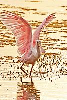 Birds_Waterbirds: flamingos, grebes, gulls, tropicbirds, penguins, shorebirds_Aequorlitornithes