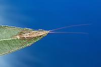 Weinhähnchen, Blütengrille, Männchen, Oecanthus pellucens, Italian Tree Cricket, male, Grille, Grillen, Gryllidae, Cricket, Crickets