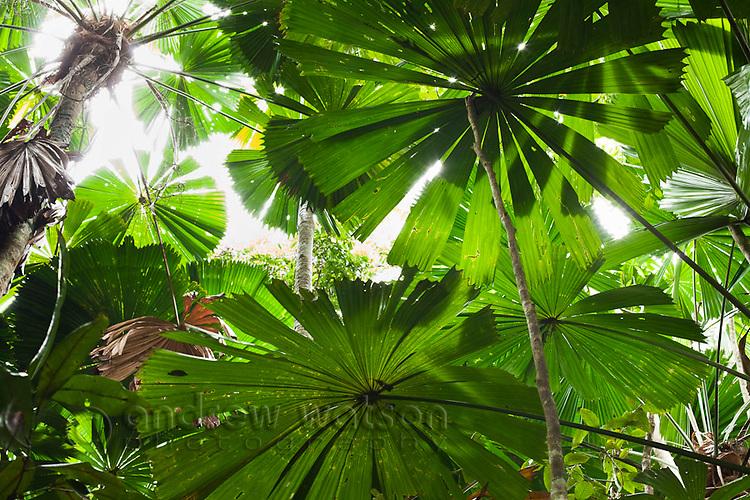 Licuala palm forest at Cape Tribulation, Daintree National Park, Queensland, Australia