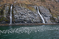Black-legged kittiwakes rest on the waters adjacent to a large rookery in Passage Canal, Prince William Sound, southcentral, Alaska.