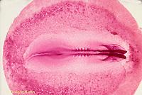 DG06-045x  Chicken - embryology, 24 hour embryo
