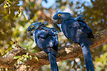 Two hyacinth macaws perch in a tree in the Pantanal, Mato Grosso, Brazil.