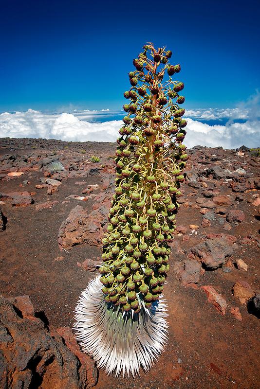Haleakala silversword (Argyroxiphium sandwicense subsp. macrocephalum) . Maui, Hawaii. Haleakala National Park