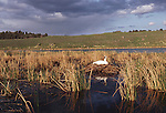 Trumpeter Swan sitting on nest