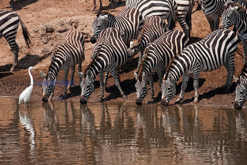 Common or Plains Zebra drinking at the Mara River (Equus quagga burchellii), Masai Mara, Kenya.