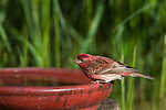 Male purple finch perched on a bird bath