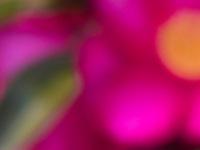 Kanjiro2, pink flower disoriented blur Camellia sasanqua 'Kanjiro' for m'eyes recuperating
