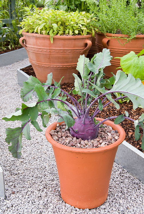Purple Kohlrabi Growing In Pot Plant Flower Stock