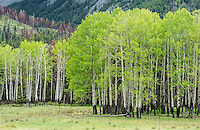 Aspen Grove, Banff National Park, Alberta, Canada