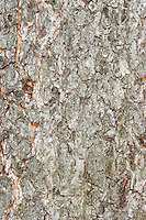Rum Cherry (Black Cherry) Prunus serotina (Rosaceae) HEIGHT to 22m. A spreading deciduous tree with a stout trunk. BARK Greyish, peeling away in strips and fissured in older trees; a strange, bitter smell is released if the bark is damaged. BRANCHES Spreading and dense, the outer extremes sometimes weeping. LEAVES Larger than those of Bird Cherry at up to 14cm long, shiny above and with fine forward-pointing teeth on the margin; the midrib on the underside has patches of hairs along it, which help separate this species from other similar cherries. REPRODUCTIVE PARTS The flowers are very similar to those of Bird Cherry, but the spike may contain fewer than 30 flowers, the pedicels are shorter and the white petals are toothed at the margins. The black fruits contain a bitter-tasting flesh and a rounded smooth stone. STATUS AND DISTRIBUTION A native of N America, planted for timber and ornament in much of Europe, including Britain and Ireland, and naturalised in many places, including S England.