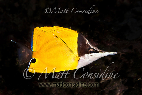 This is a Forceps Fish.  It might look like a Butterflyfish but it does not have a vertical black stripe through the eye. Yap Micronesia (Photo by Matt Considine - Images of Asia Collection) (Matt Considine)