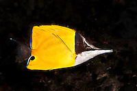 This is a Forceps Fish.  It might look like a Butterflyfish but it does not have a vertical black stripe through the eye. Yap Micronesia (Photo by Matt Considine - Images of Asia Collection)