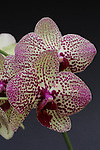 Two New Orchids Gain the Royal Horticultural Society's Award of Garden Merit