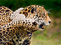 Jaguar (Panthera onca) cub playfully clings to mother?s neck