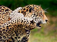 Jaguar (Panthera onca) cub playfully clings to mother?s neck