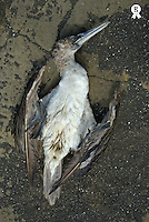 Dead blue-footed booby (Sula nebouxii) lying on ground, overhead view (Licence this image exclusively with Getty: http://www.gettyimages.com/detail/200503172-001 )