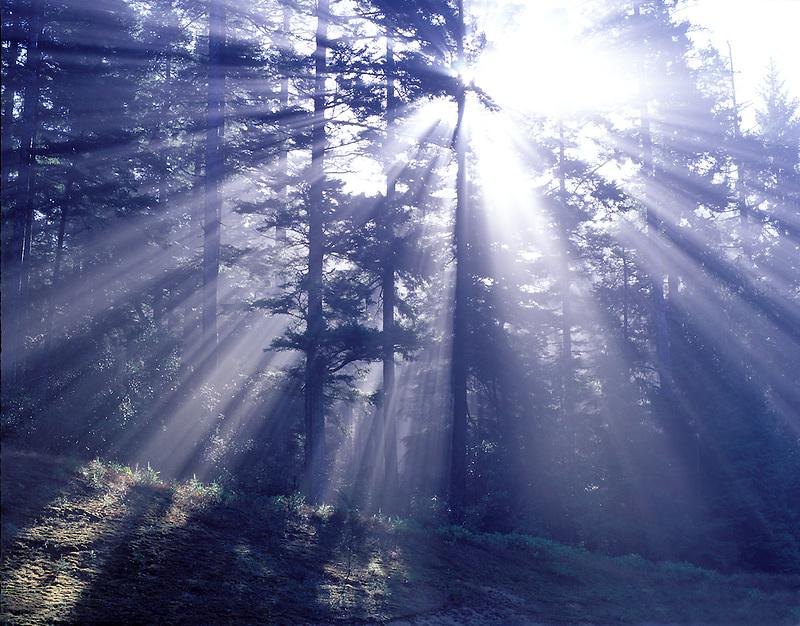 Douglas fir trees with fog and sun rays. Near north Bend, Oregon