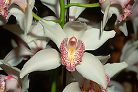 Cymbidium Alexalban 'The Bride', AM/AOS, AM/RHS. Orchid hybrid of Cymbidium Albania x Alexanderi, 1933