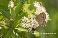 03493-00205 Little Wood-Satyr (Megisto cymela) on Swamp Dogwood (Cornus racemosa) Reynolds Co. MO