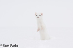 Long-tailed weasel in winter. Yellowstone National Park, Wyoming.