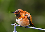 A male Rufous Hummingbird is showing off its mating colors during Spring looking left
