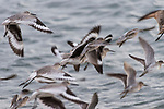 Guerroro Negro, Baja California Sur, Mexico; a flock of Dunlin birds in flight