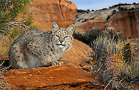 BOBCAT male resting near Arches National Park, Utah.  American Southwest. Autumn. (Felis rufus).