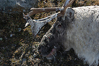 Dead wild reindeer