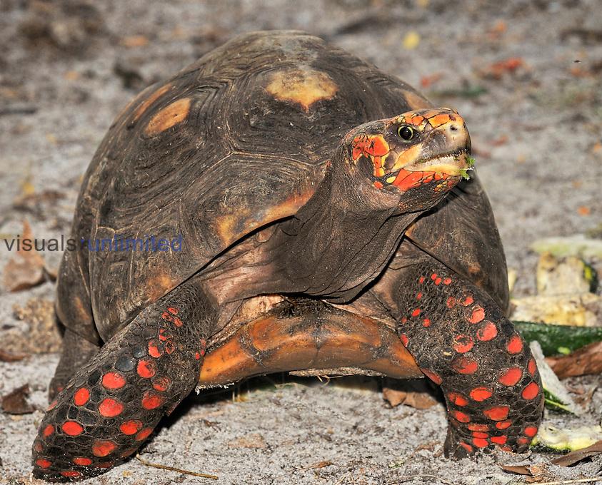 Redfoot Tortoise (Chelonoidis carbonaria), captive.