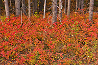 Autumn colors in the underbrush of  the boreal forest. This is a provincial parc, not a true federal park.<br />