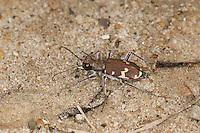 Dünen-Sandlaufkäfer, Brauner Sandlaufkäfer, Kupferbrauner Sandlaufkäfer, Sand-Laufkäfer, Cicindela hybrida, dune tiger beetle, northern dune tiger beetle