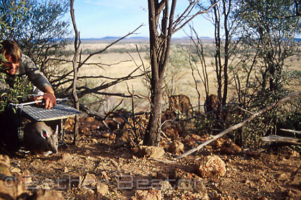 Scientist releasing Yellow-footed Rock Wallaby from trap. Wallaroo Range, Lambert Station, western QLD