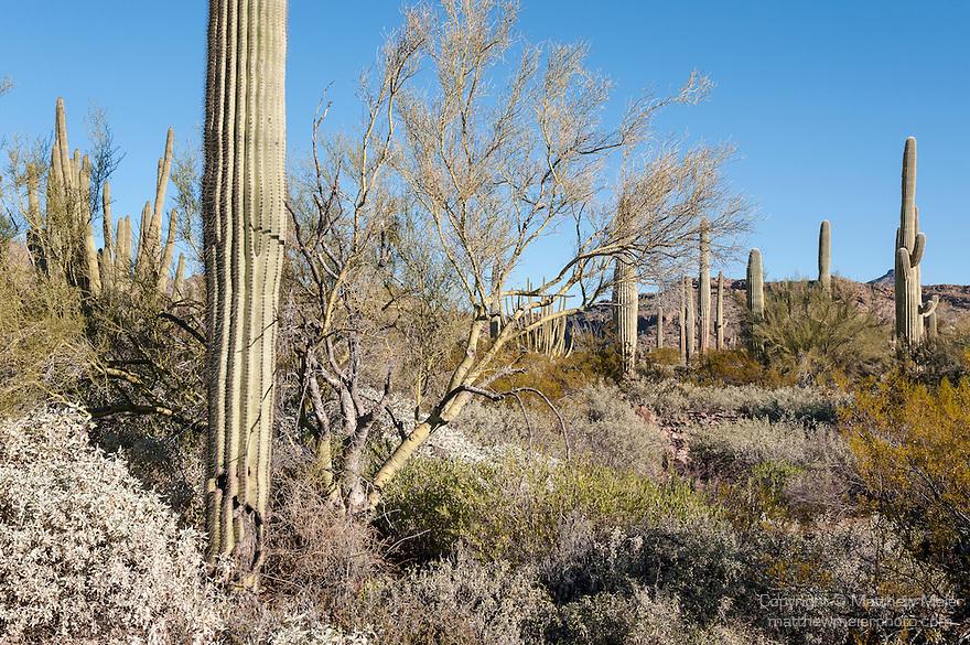 Organ Pipe Cactus National Monument, Ajo, Arizona; a desert scene with Palo Verde, Saguaro and Organ Pipe Cactus