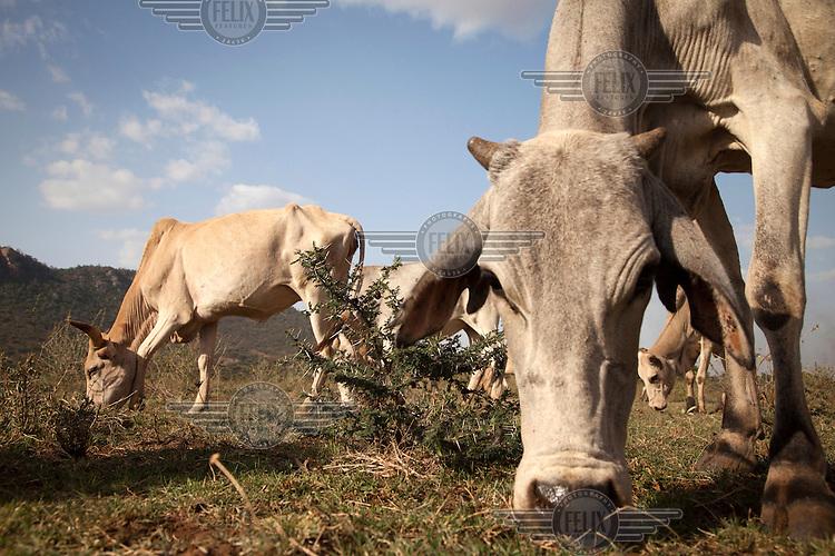 Cattle graze in a field.