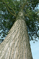 Hybrid Black-poplar Populus x canadensis (Salicaceae) HEIGHT to 30m. Upright or spreading tree, depending on situation, with a narrow crown. Similar to Black-poplar, one of parent species, and in many areas far more common; other parent is N American tree, Cottonwood. Trunk lacks burrs seen in Black-poplar. BARK Deeply fissured and greyish. SHOOTS Young twigs greenish or slightly reddened. LEAVES Alternate, oval to triangular and sharply toothed with fringes of small hairs. REPRODUCTIVE PARTS Catkins, similar to those of Black-poplar. STATUS AND DISTRIBUTION Planted for ornament or timber (used for packing crates and boxes). Does not thrive in wet or cold areas.