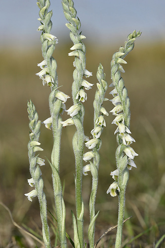 Autumn Lady's-tresses - Spiranthes spiralis