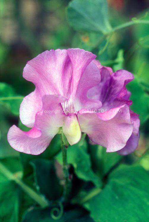 Lathyrus odoratus 'Peacock' sweetpeas sweet peas pink flower annual