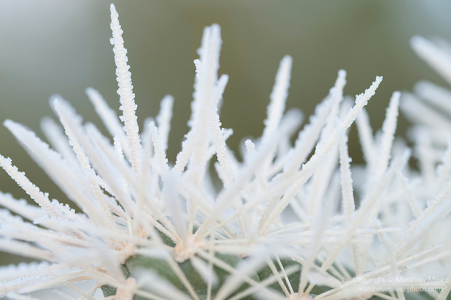 Tucson, Arizona; early morning frost covers the spines of the Silver Cholla (Cylindropuntia echinocarpa) cactus