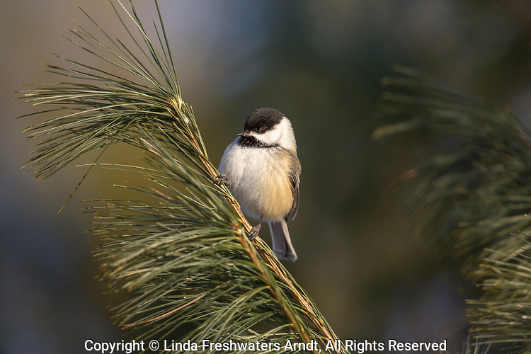 Black-capped chickadee perched in a white pine tree in northern Wisconsin.