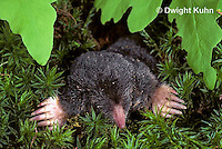 MB25-009z   Hairy-tailed Mole - digging - Parascalops breweri