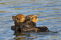 "Sea Otter (Enhydra lutris) mother caring for her young pup.  Young pups have light brown or yellowish fur called the ""natal pelage.""  This fluffy fur helps the pup stay afloat before it learns the intricacies of swimming, and it will be completely replaced with dark brown adult fur by the time the pup is about three months old."