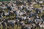 Grant's zebras, Masai Mara National Reserve, Kenya